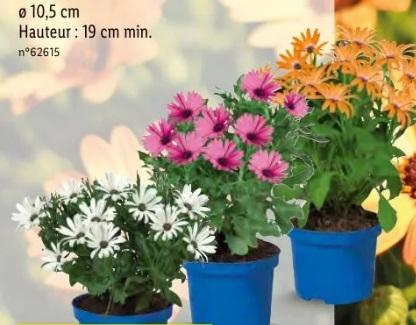 Lot de 3 plantes Ostéospermum (au choix) - Hauteur 19 cm, Ø 10.5 cm
