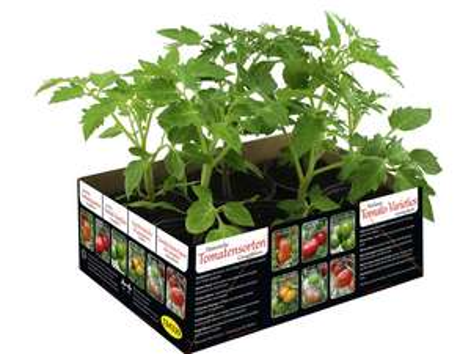 Barquettes de 6 plants de tomates anciennes