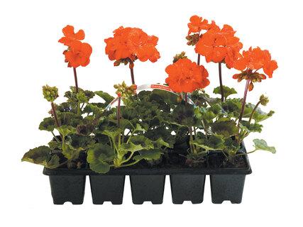 Sélection de plantes en promotion - 10 barquettes plants Géranium lierre ou zonal