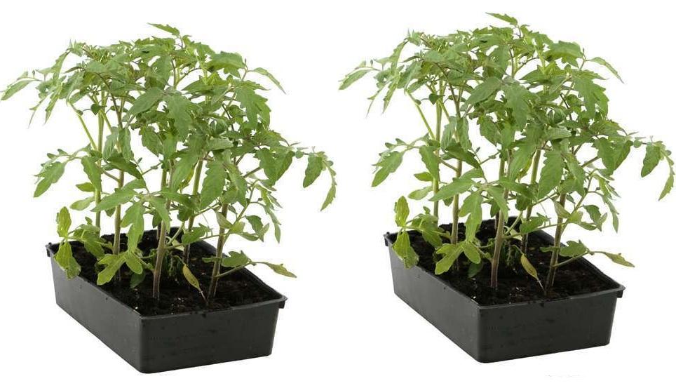 Lot de 12 plants de Tomates anciennes - Diverses variétés