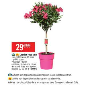 Laurier rose en pot - 100 cm