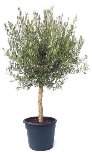 Arbre olivier - hauteur 170/190 cm, pot 35 L