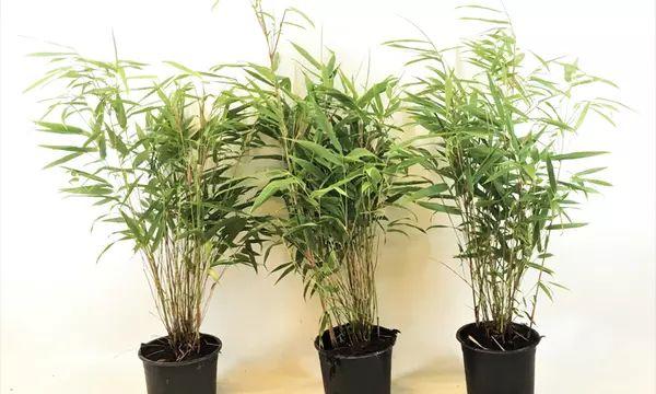 Lot de 3 plant de bambou Fargesia Asian Wonder