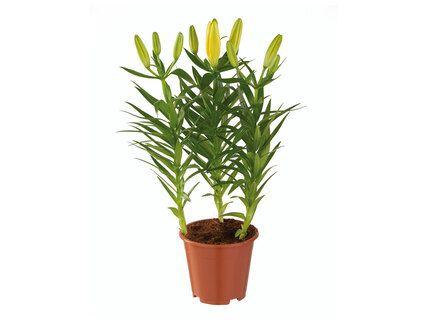 Lys asiatique en pot (35 cm)