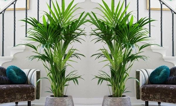 2 Palmiers d'intérieur kentia - H90-100cm