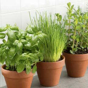 Plantes Bio aromatiques en pot - Menthe, Ciboulette, Basilic