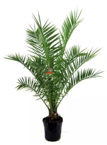 Palmiers des Canaries - 100 à 120 cm de hauteur
