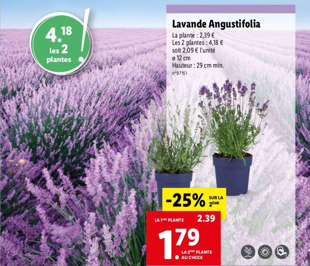 Lot de 2 plantes en pot Lavande Angustifolia - 29cm de hauteur minimum