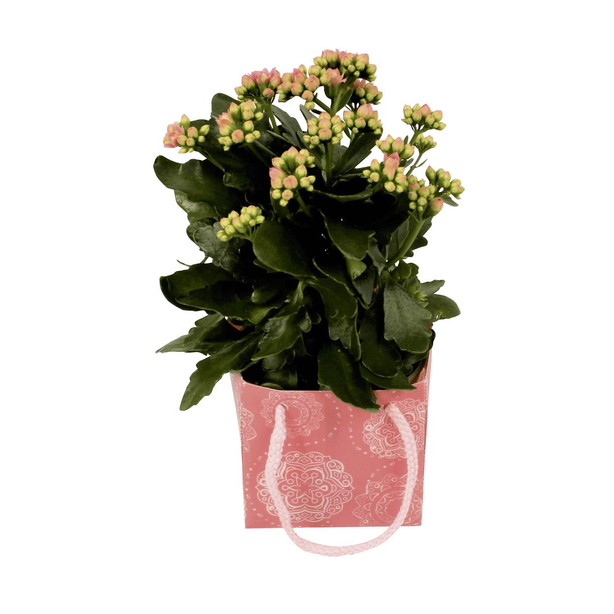 Sélection de plantes et de bouquets Gardenline à partir de 2.49 € - Ex : Kalanchoe