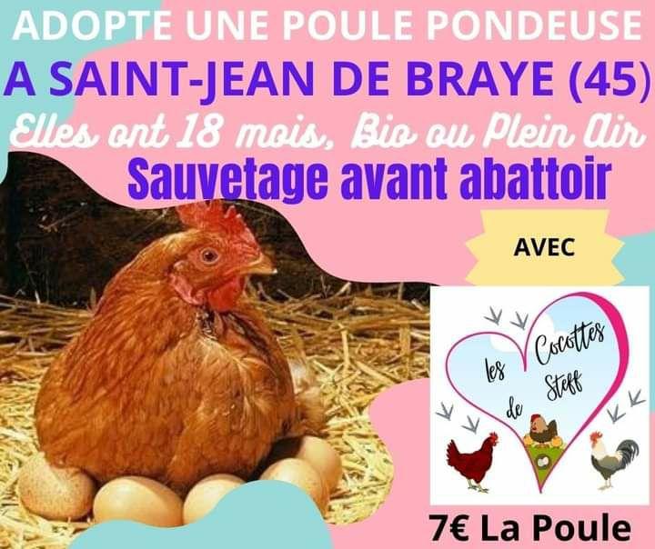 Poule Pondeuse - Saint-Jean de Braye (45)