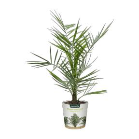 Palmier jeune en pot (Variétés assorties)