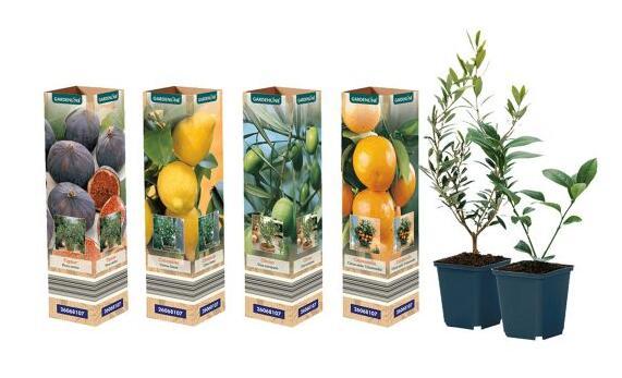 Plantes méditerranéennes Gardeline (figuier, olivier, citronnier...)