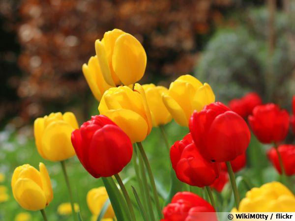 Distribution gratuite de bulbes de Tulipes - Sceaux (92)