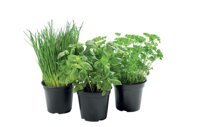 Plante aromatique bio : basilic, ciboulette ou menthe en pot
