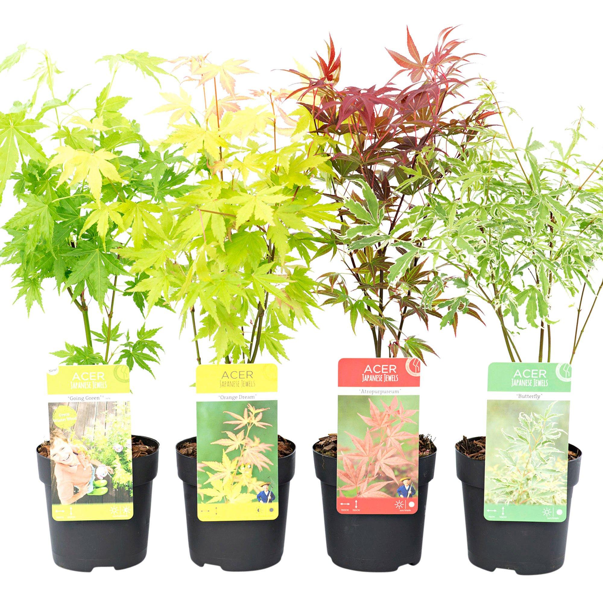 4 Erables du japon Acer palmatum en pot - Mélange orangé-violet-vert-rouge (bakker.com)
