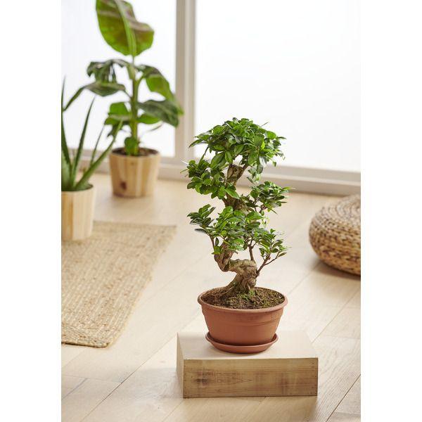 Bonsaï Ficus Ginseng (hauteur 65 cm)