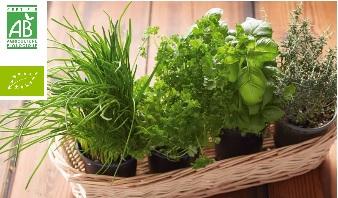 Herbe aromatique Bio en pot - pot au choix