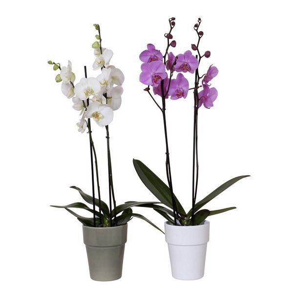 Orchidée Phalaenopsis 2 tiges (55-70cm)