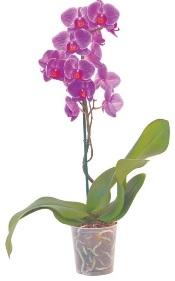 Orchidée - Différents coloris