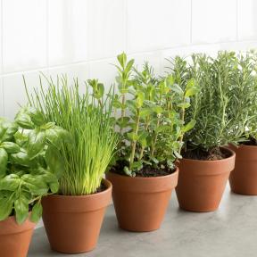 Herbes aromatiques Bio en pot (Basilic, ciboulette ou menthe)