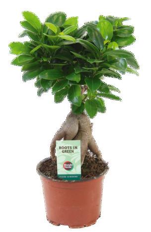 Bonsaï Ficus - Hauteur 35cm