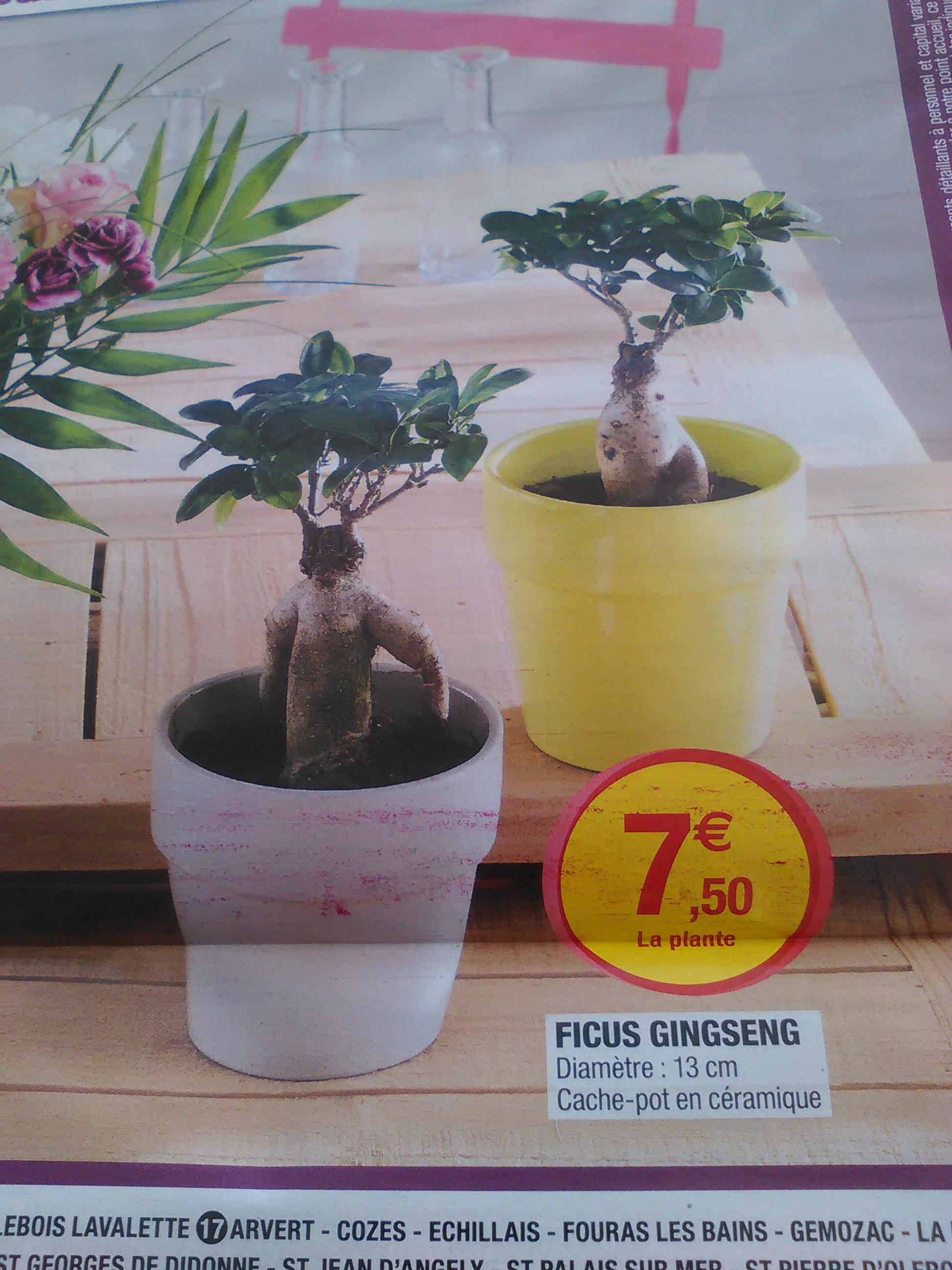 Plante bonsaï Ginseng + cache-pot (13 cm) en céramique