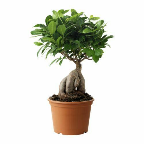 Ficus en pot 12 cm