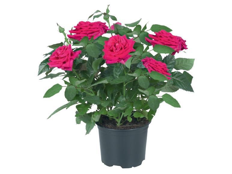 Sélection de plantes et fleurs en promotion - Ex : 2 Mini Rosier