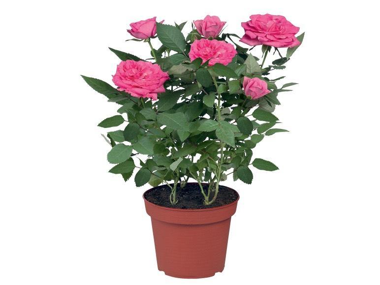 Mini-rosier (30 cm, différents coloris)