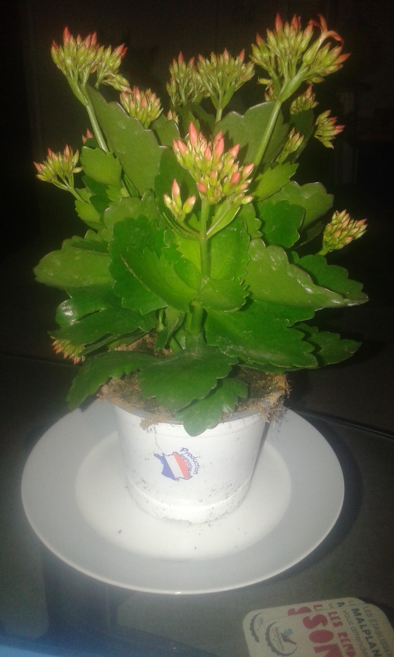 Plante Kalanchoé avec pot de 10cm