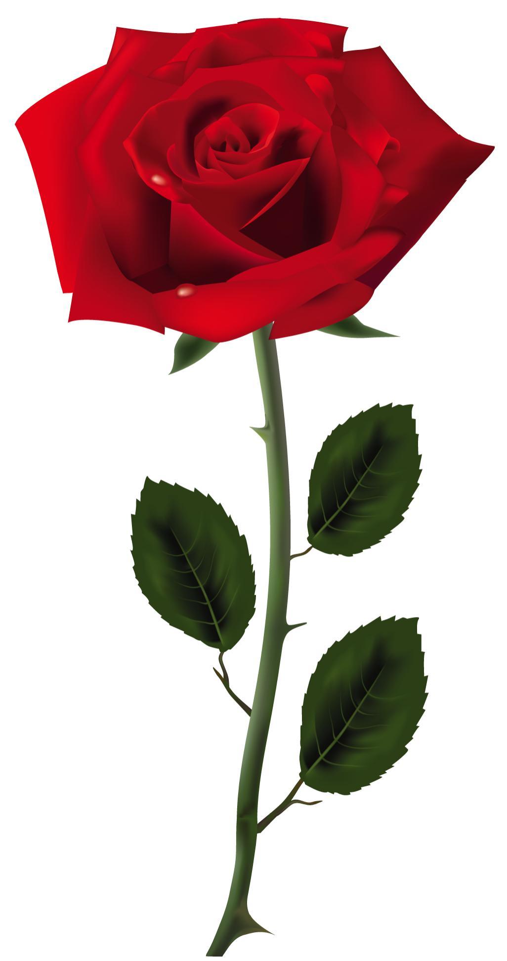 Lot de 5 roses