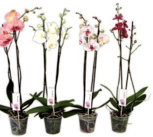 Orchidée Phalaenopsis à 2 tiges (Coloris au choix)