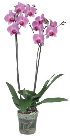 Orchidée 2 tiges - 50 cm minimum (plusieurs coloris)