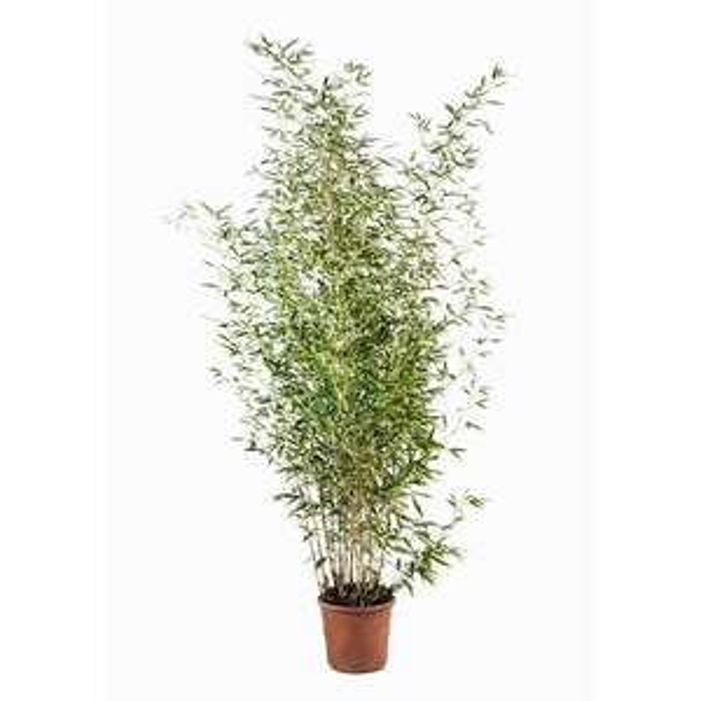 Bambous dorés (Phyllostachys Aurea) en pot 9L – Dealabs.com