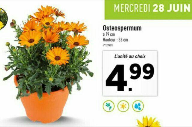 Osteospermum en pot - Hauteur 33cm