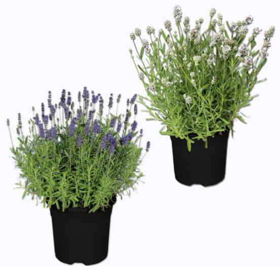 Pot de Grande lavande Garden Feeling Lavendula Augustifolia (Variétés au choix) - 25 à 40cm