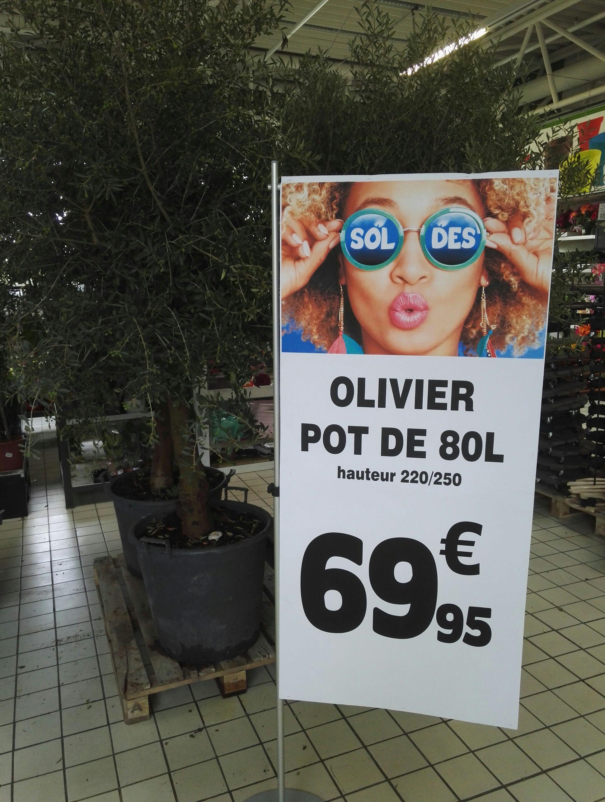 Olivier 220-250 cm