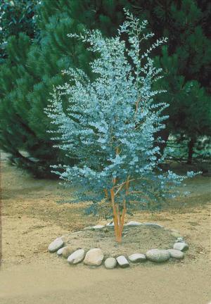 1 Eucalyptus Gunnii 80/100 cm + Persil Frisé 'Vert foncé' / Port inclus