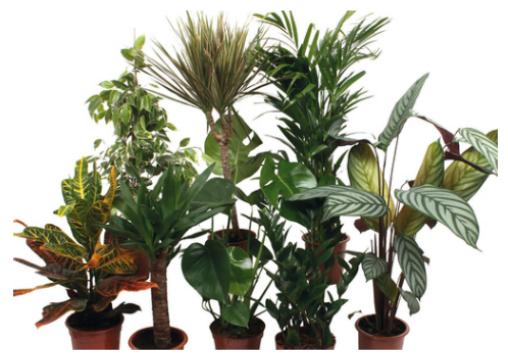 Plantes vertes d'intérieur pot 17cm hauteur 65-80cm